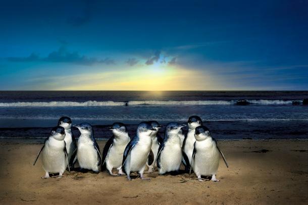 The cute fairy penguins at Phillip Island