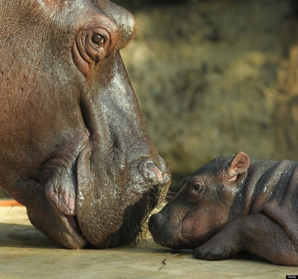 Baby Hippopotamus Presentation At Berlin Zoo.