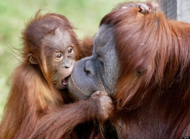 Orangutan love: Photo credit WILLIAM WEST/AFP/Getty Images