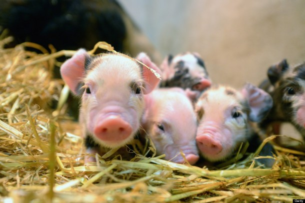 Newly born Kunekune piglets.  (Photo by Jeff J Mitchell/Getty Images)