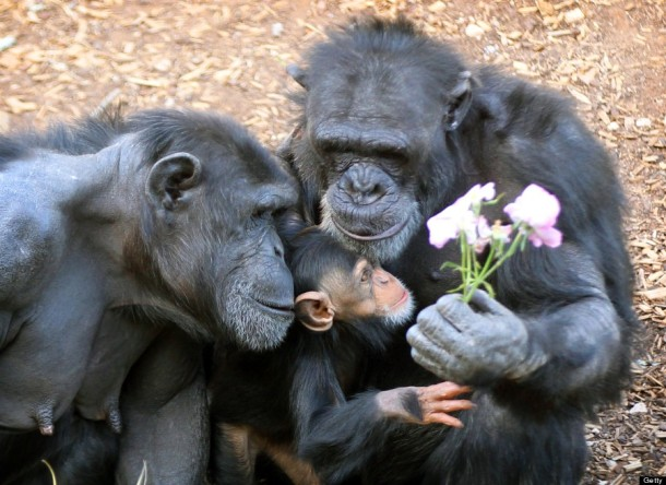 Chimpanzees At Monarto Zoo. (Photo by Dylan Coker/Newspix via Getty Images)