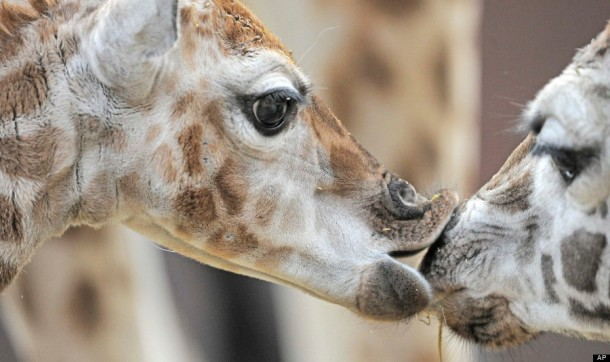 Germany Zoo Giraffe Baby. (AP Photo/Jens Meyer)