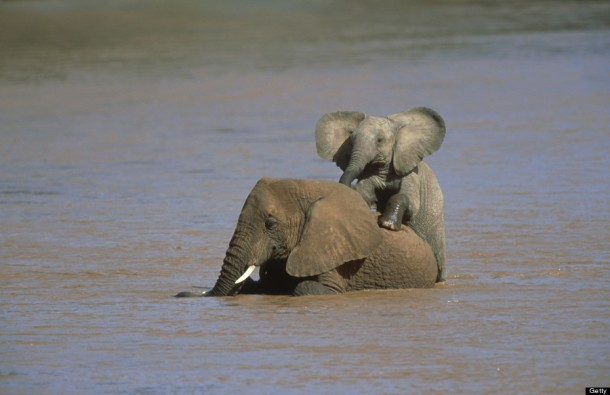 African Elephants Having Fun - Kenya